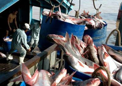 Giá Trị xuất khẩu cá tra Việt Nam tăng lên nhưng các doanh nghiệp vẫn duy trì thận trọng